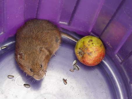 Vole, Cute, East Water Vole, Mouse, Water Vole