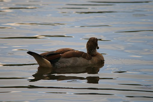 Egyptian Goose, Goose, Pond, Water, Ripples, Bird, Fly