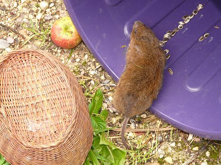 Large Vole, East Water Vole, Mouse, Water Vole, Vole