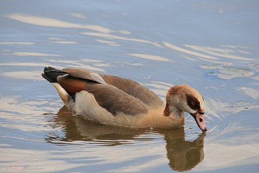 Egyptian Goose, Goose, Waterfowl, Bird, Fly, Wings