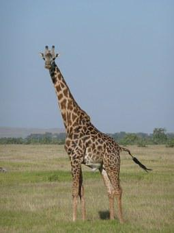 Giraffe, Kenya, Africa, Safari, Nature, Wildlife