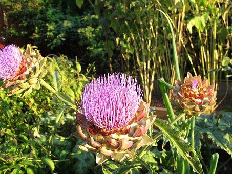 Artichoke, Blossom, Bloom, Flora, Fresh, Plant, Natural