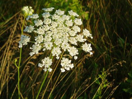 Queen Ann's Lace, Floral, Plants, Natural, Blossom