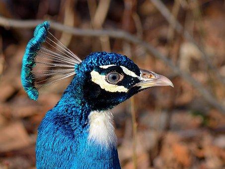 Peacock, Bird, Nature, Head, Blue, Peacock Island