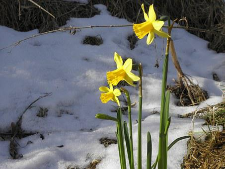 Daffodil, Flower, Fruhblueher, Yellow, Snow