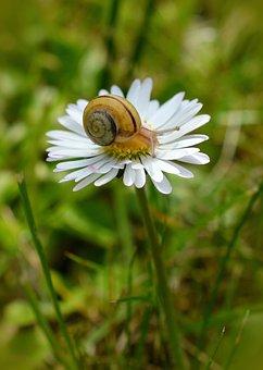 Snail, Meadow, Daisy, Summer, Close, Macro, Garden