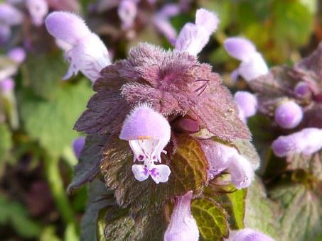 Nettle, Nettle With Blossom, Dead Nettle, Blossom