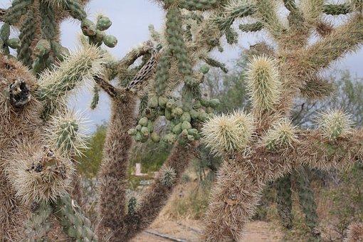Florence, Arizona, Desert Gardens Rv Park, Cactus
