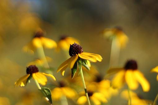 Echinacea, Flowers, Fall, Floral, Plants, Natural