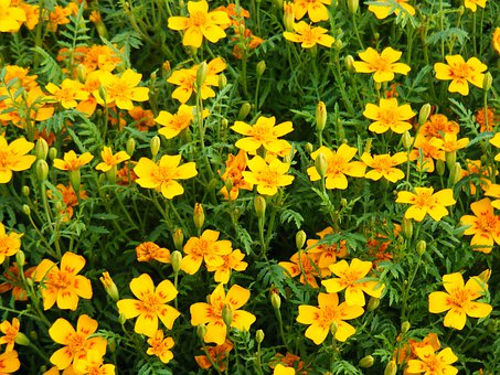 Marigold, Flowers, Wildflowers, Floral, Plants, Natural