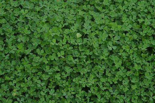 Clovers, Plant, Green, Shamrock, Nature, Grass, Foliage