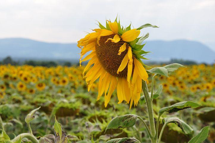 Sunflower, Sunflower Field, Laconnex, Geneva, Floral