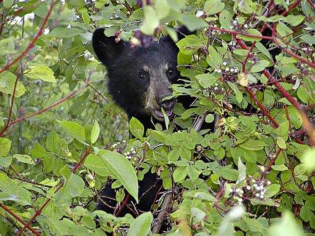 Bear, Cub, Black, Head, Eating, Berries, Nature, Bush