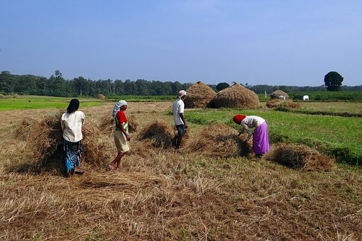 Paddy, Harvest, Rice, Workers, Countryside, Farm