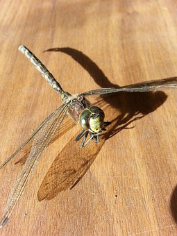 Dragonfly, Insect, Bug, Wing, Wildlife, Wings, Pest