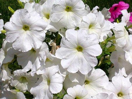 Petunia, Floral, Plants, Natural, Blossom, Bloom