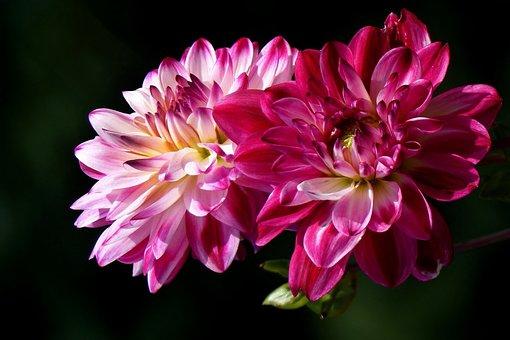 Dahlias, Pink, Late Summer