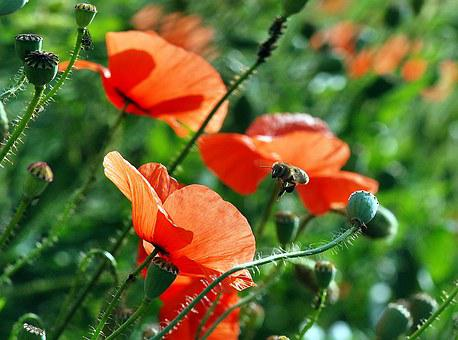Bee, Flower, Macro, Pollination, Poppies, Work, Closeup