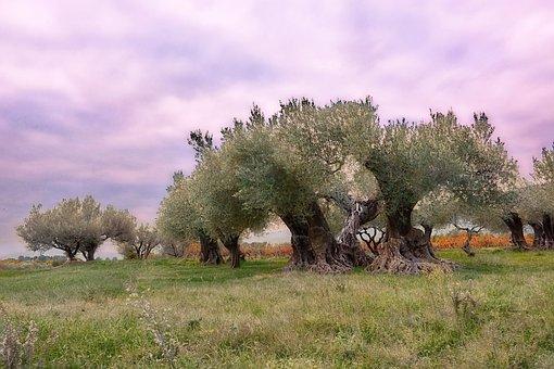 Olivier, Provence, France, Puget, Landscape, Olives