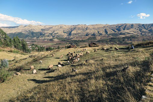 Sacred Valley, Cusco, Sheep, Peru, Andes, Mountain