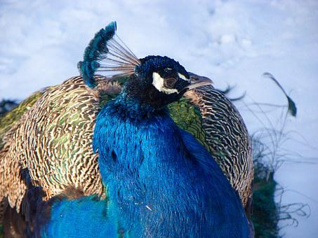 Peacock, Blue, The Head Of The Peacock, Crown