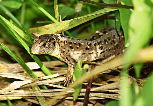 The Lizard, Gad, Grass, Skin, Lizard, Kennel, Nature