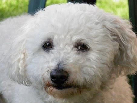 Bolognese, Pets, Dog, Animal, Pet, Curly Fur, White