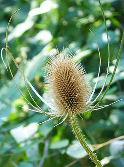 Thistle, Dipsacus Fullonum, Dried Plant, Bathing Venus