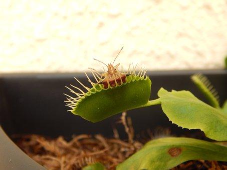 Plant-carnnívora, Bug, Insect, Plant, Venus Flytrap