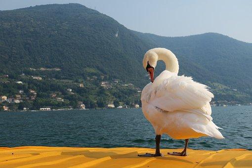 Swan, Free Float, Lake Iseo, Lake, Christo, Italy