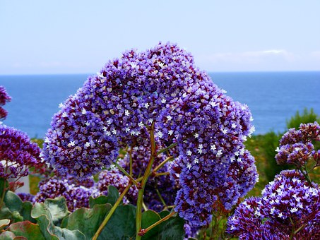 Statice, Sea Lavender, Coastal Bluffs, California