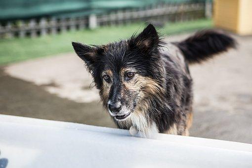 Dogs, Collie, Border Collie, Happy, Animal, Cute, Hound