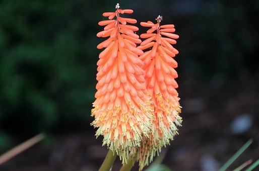 Torch Lily, Garden, Colorful, Flower, Blossom, Bloom