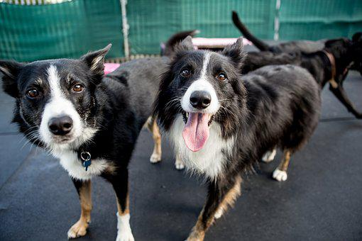 Dogs, Collie, Border Collie, Happy, Animal, Cute, Hound