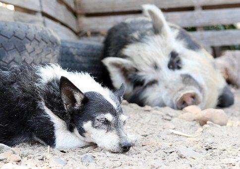 Animal, Big, Boar, Dirty, Dog, Farm, Fat, Food, Friend