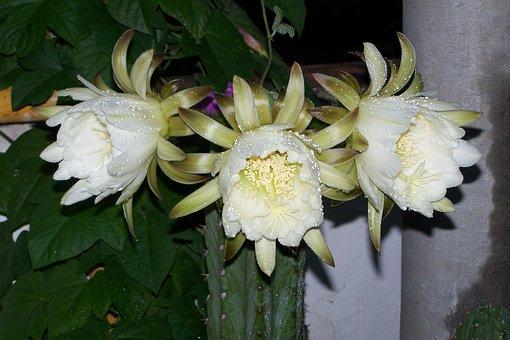 Cactus, Peruvian Torch, Flower