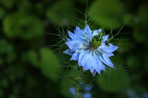 Damascus Nigella, Blue Flower, Flower Garden