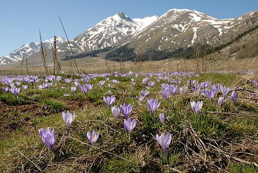 Crocuses, Abruzzo, Gran Sasso, Wild Flowers, Mountains