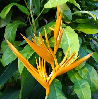 Flower, Heliconia, Heliconia Golden Torch