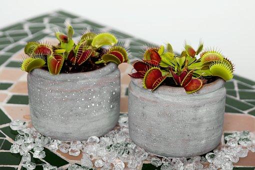 Venus Flytrap, Carnivore, Flower, Nature, Plant