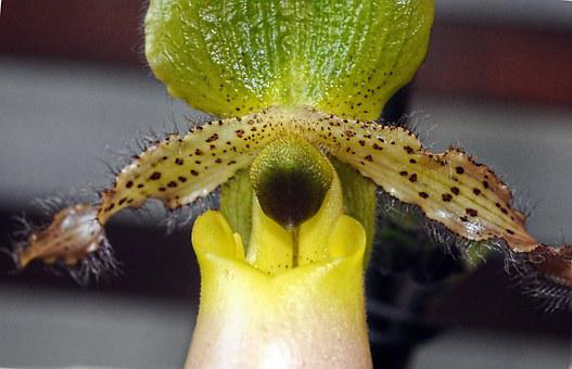 Paphiopedilum, Venus Shoe, Orchid, Plant, Flower