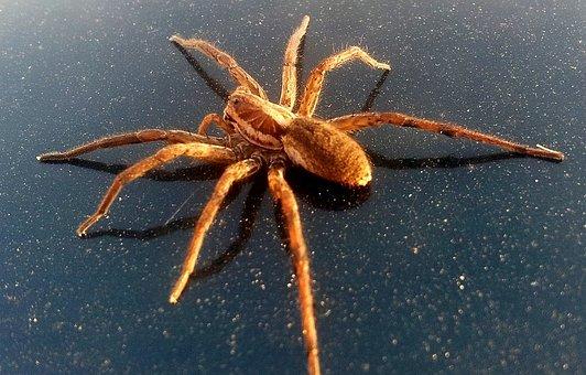 Arachnids, Araneae, Arthropoda, Big, Giant, Spider