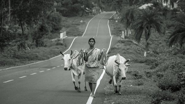 Cow, Black, White, Old, Village, Road, Tree, Woman