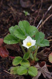 Strawberry, Bloom, Spring, After Rain, Petals, Flower