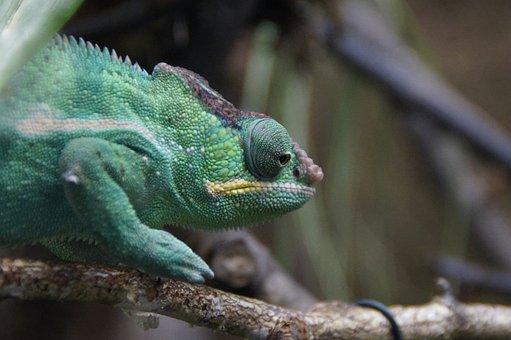 Chameleon, Green, Reptile, Animal, Head, Chamaeleonidae