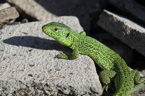 Lizard, Nature, Reptile, Vacation, Krupnyj Plan, Beauty