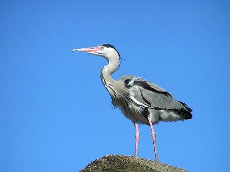 Heron, Bird, Nature, Babu, Wings, Blue Heron
