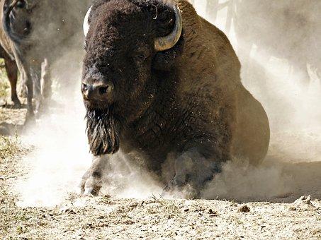 Bison, Buffalo, Mammal, Animal, Get Up, Dusting, Nature