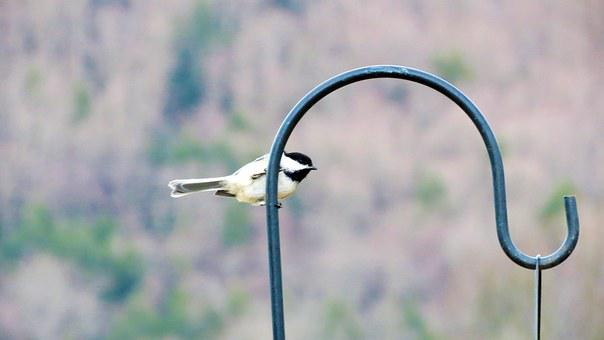 Bird, Chickadee, Blur, Focus, Animal, Cute, Outdoors