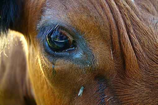 Eye, Vision, Animal, Cow, Cow Eye, Macro